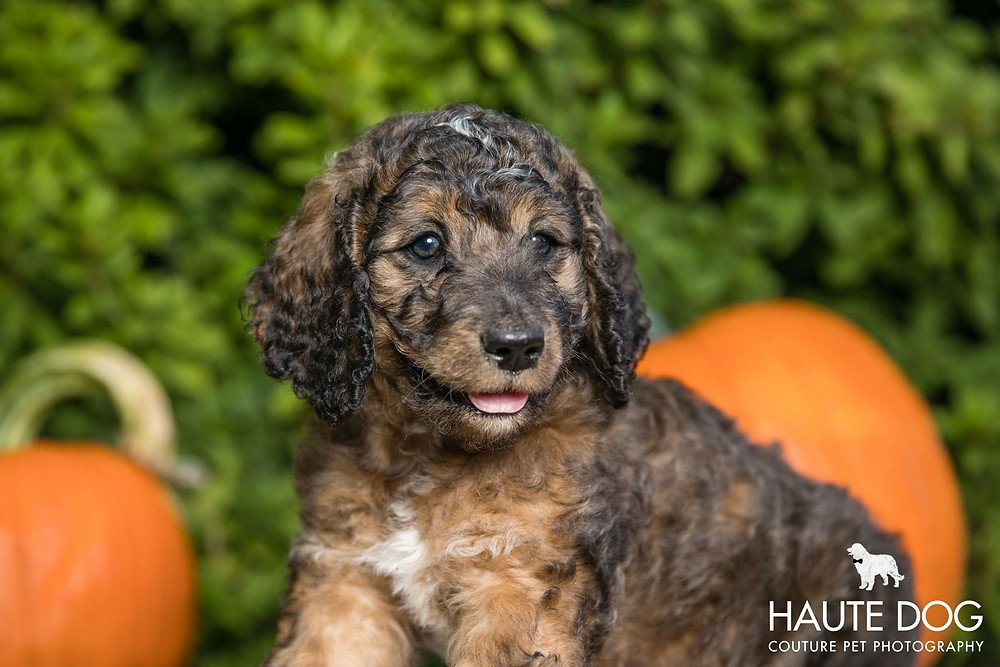 Dallas Doodle puppy dog photographed with pumpkins