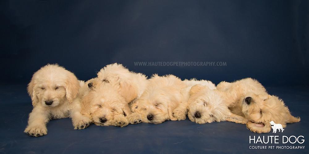 Dallas pet photographer doodle puppies sleeping