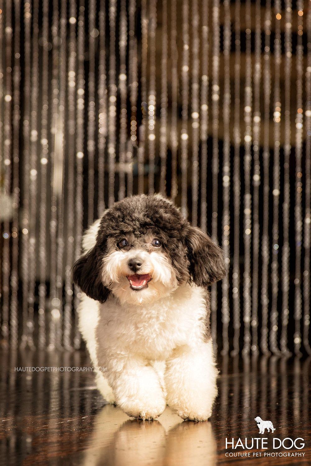 Dallas pet photography Cavapoo with sparkles