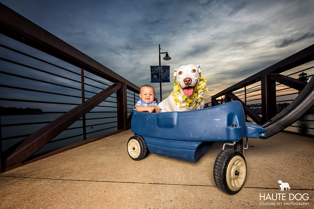 Dallas pet photographer pit bull with baby in wagon