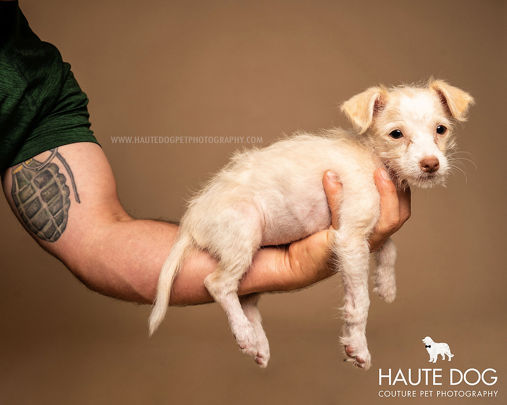 man with tattoo holds tiny puppy in Dallas dog photography studio