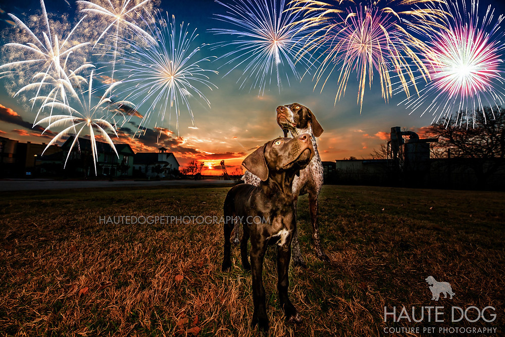 German Shorthaired Pointers under fireworks | Dallas dog safety on 4th of July