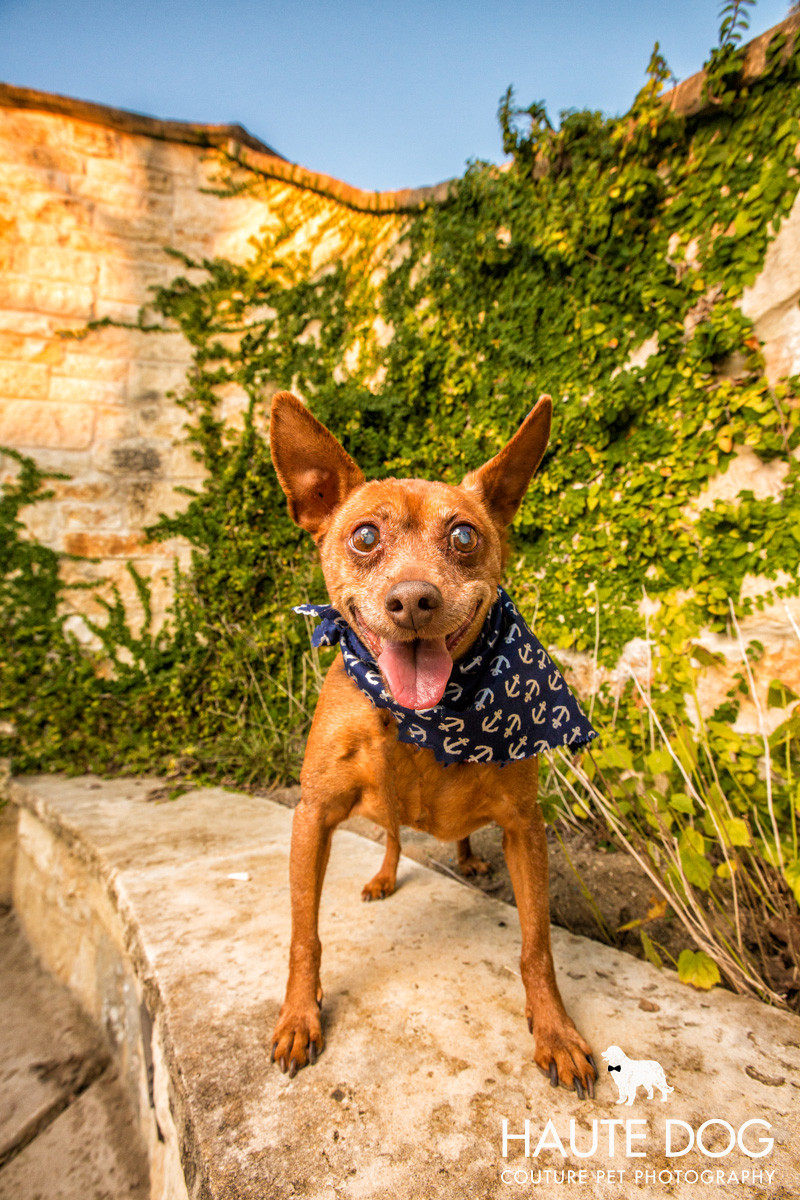 Dallas pet photographer Miniature Pinscher at Castle Hills