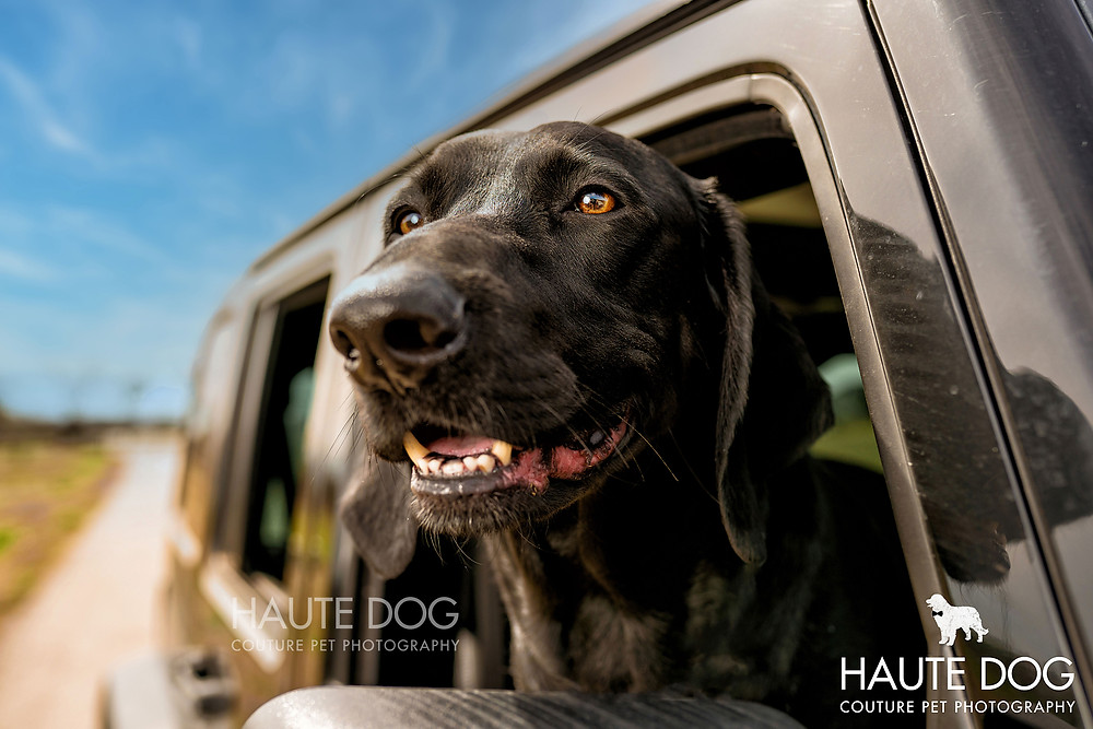 black hound dog riding in Jeep | Dallas pet photographer