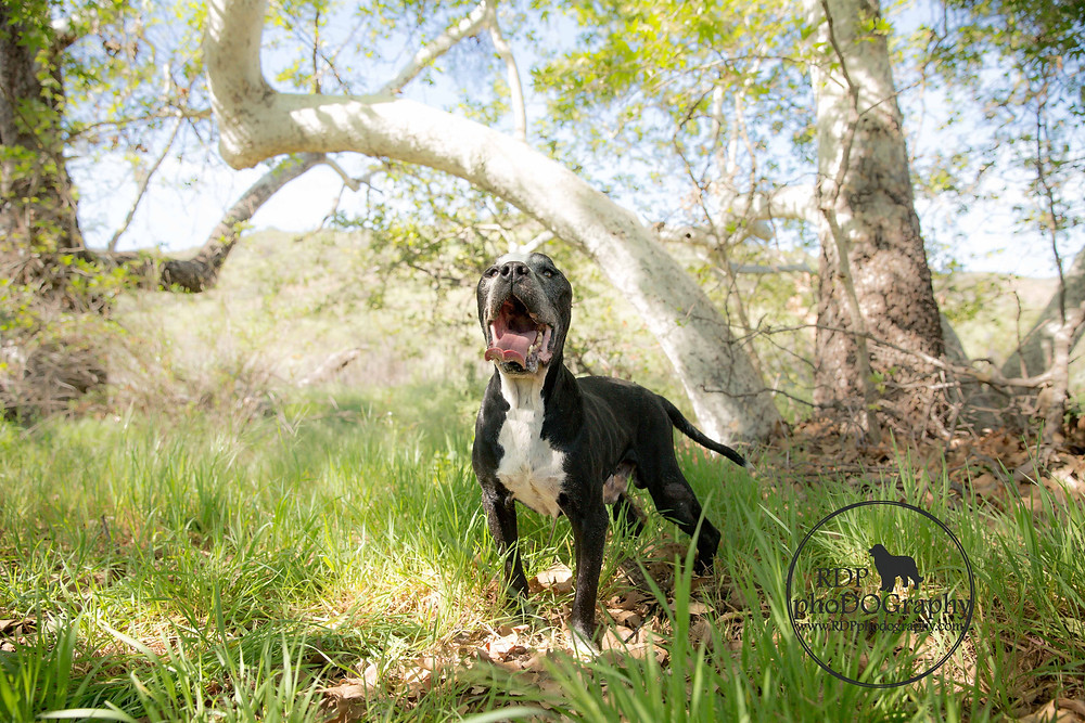 Boxer Pitbull at Mission Trails Park | San Diego Dog Photographer
