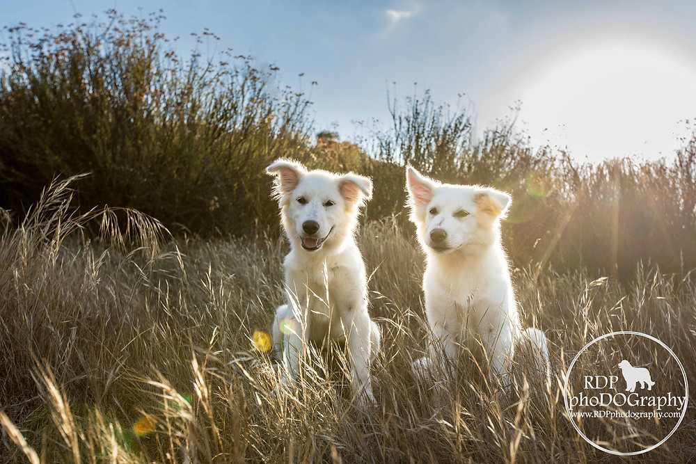 Great Pyrenees puppies Mission Trails San Diego dog photographer