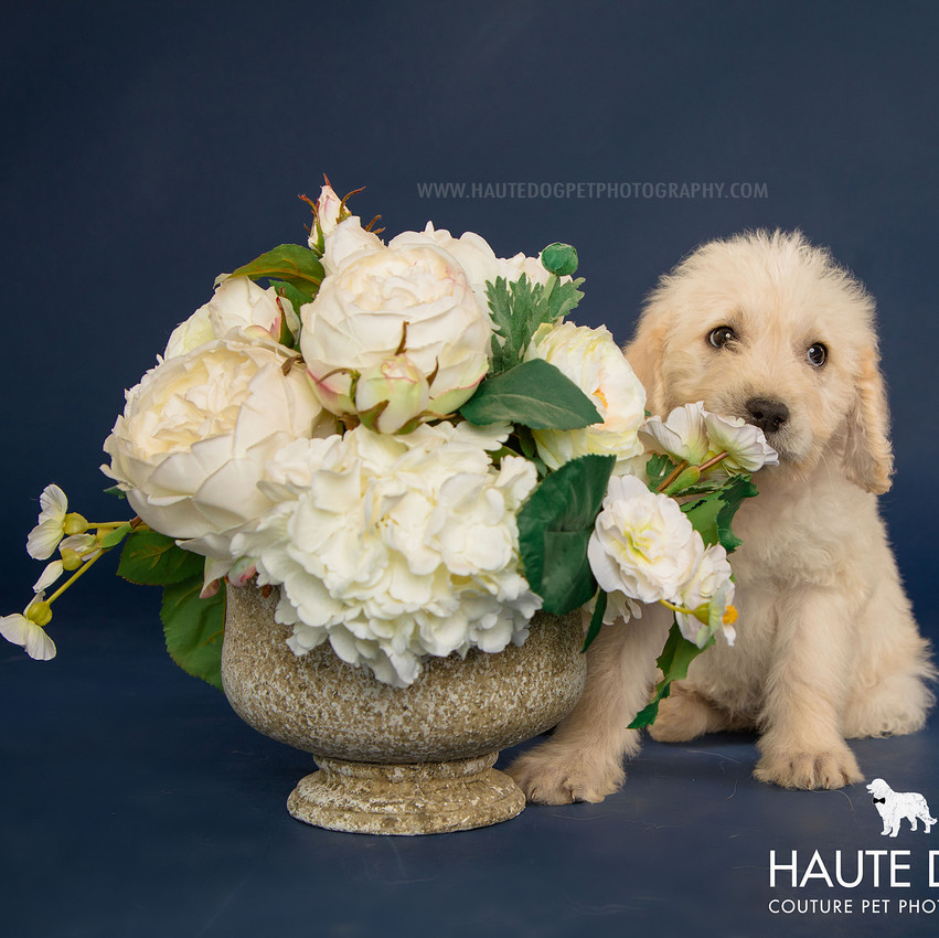 Dallas pet photographer doodle puppy with flowers