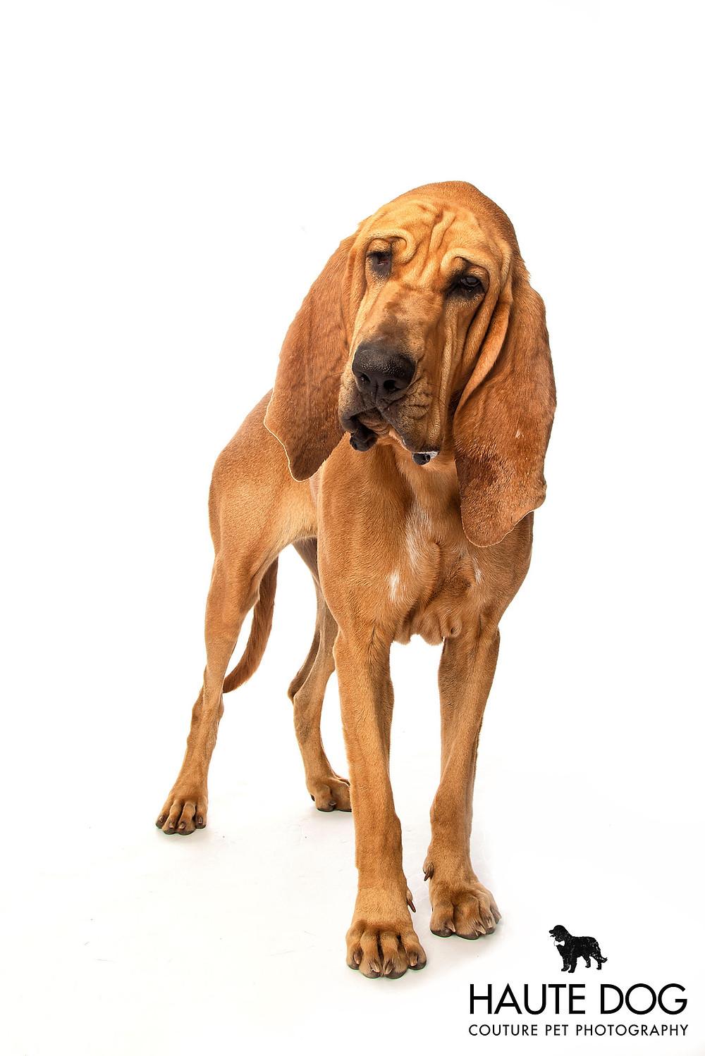 Bloodhound working dog on white background