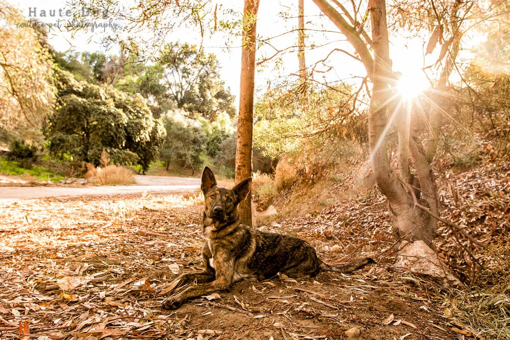 Belgian Malinois at Balboa Park | dog photography