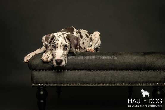Great Dane puppy on couch in Dallas dog photographer studio