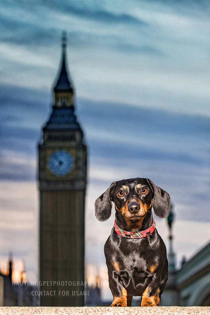 Dallas pet photographer captures Dachschund at Big Ben Tower London