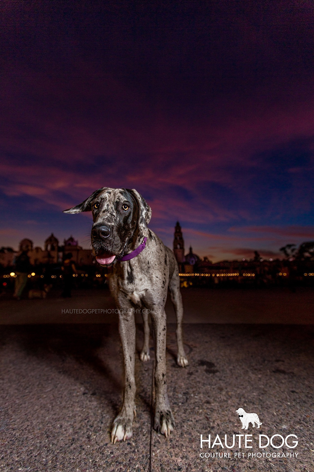 Dallas pet photographer Great Dane at sunset