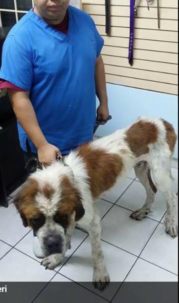 Saint Bernard at Tijuana vet
