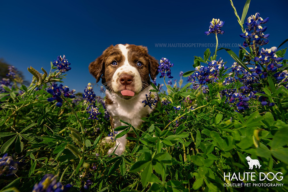 Dallas pet photographer doodle puppy in blue bonnet flowers