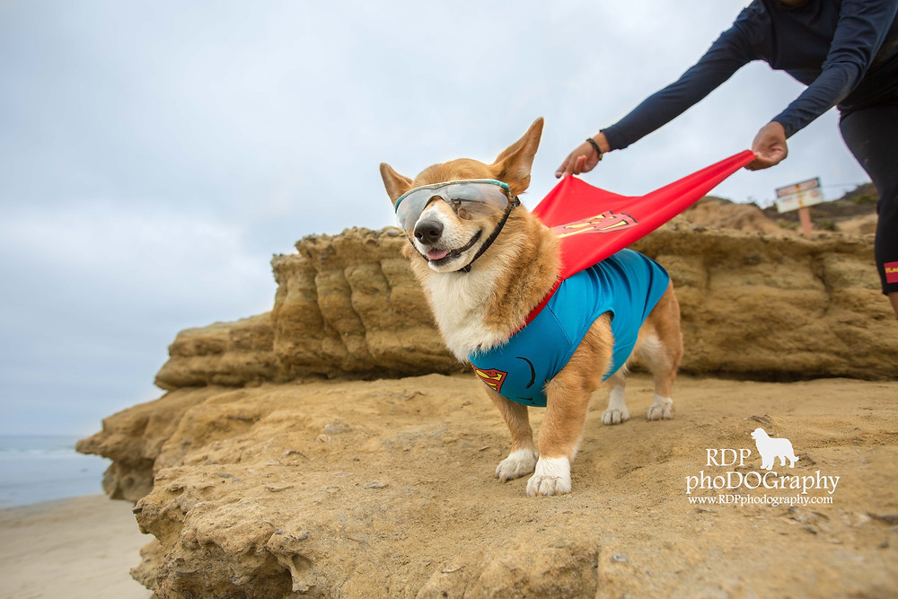 Corgi at Del Mar Beach | San Diego Dog Photographer