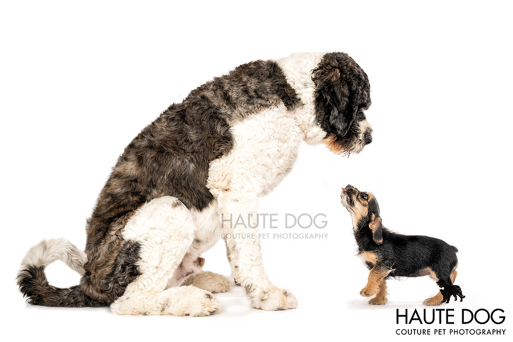 Saint Berdoodle giant breed little terrier puppies