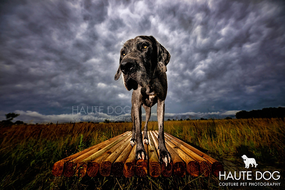 Dallas dog photographer Great Dane storm clouds