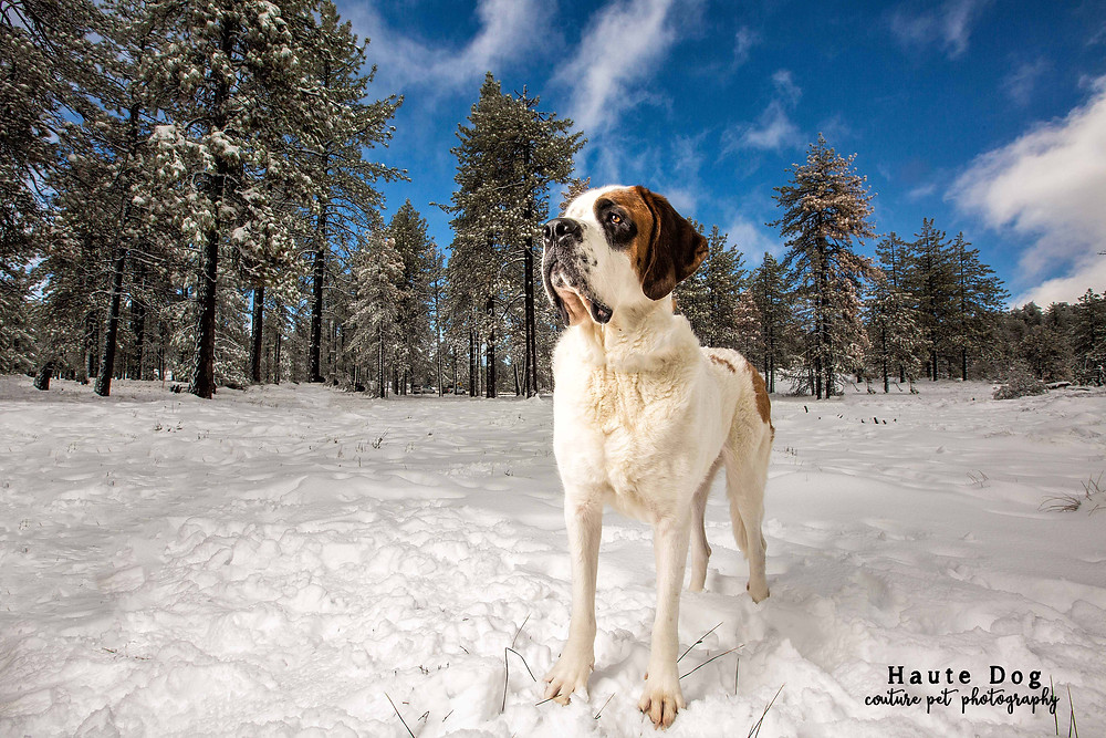 Dogs in snow | San Diego pet photographer