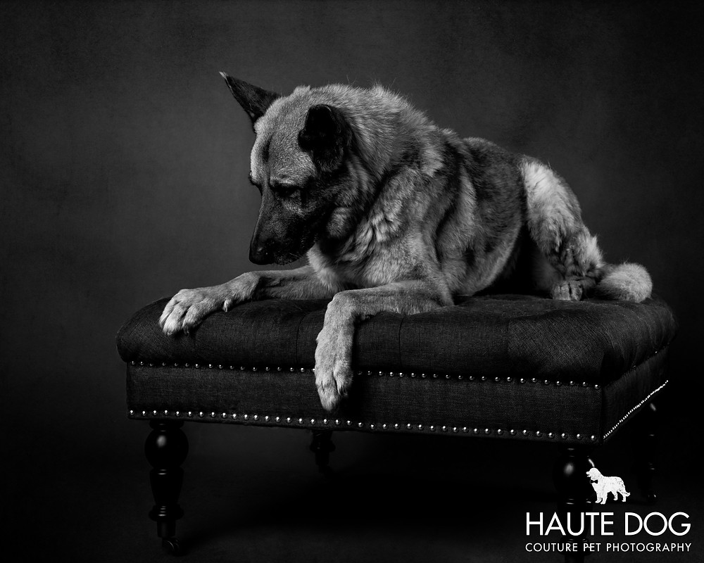 Dallas pet photographer German Shepherd black and white