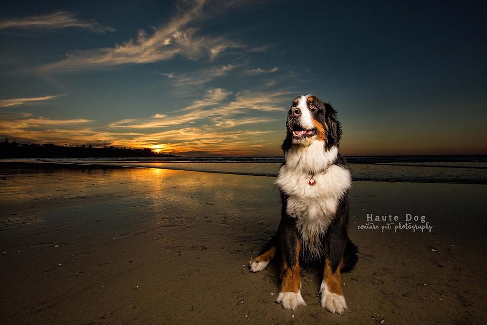 Bernese Mountain Dog on La Jolla Beach - San Diego pet photographer