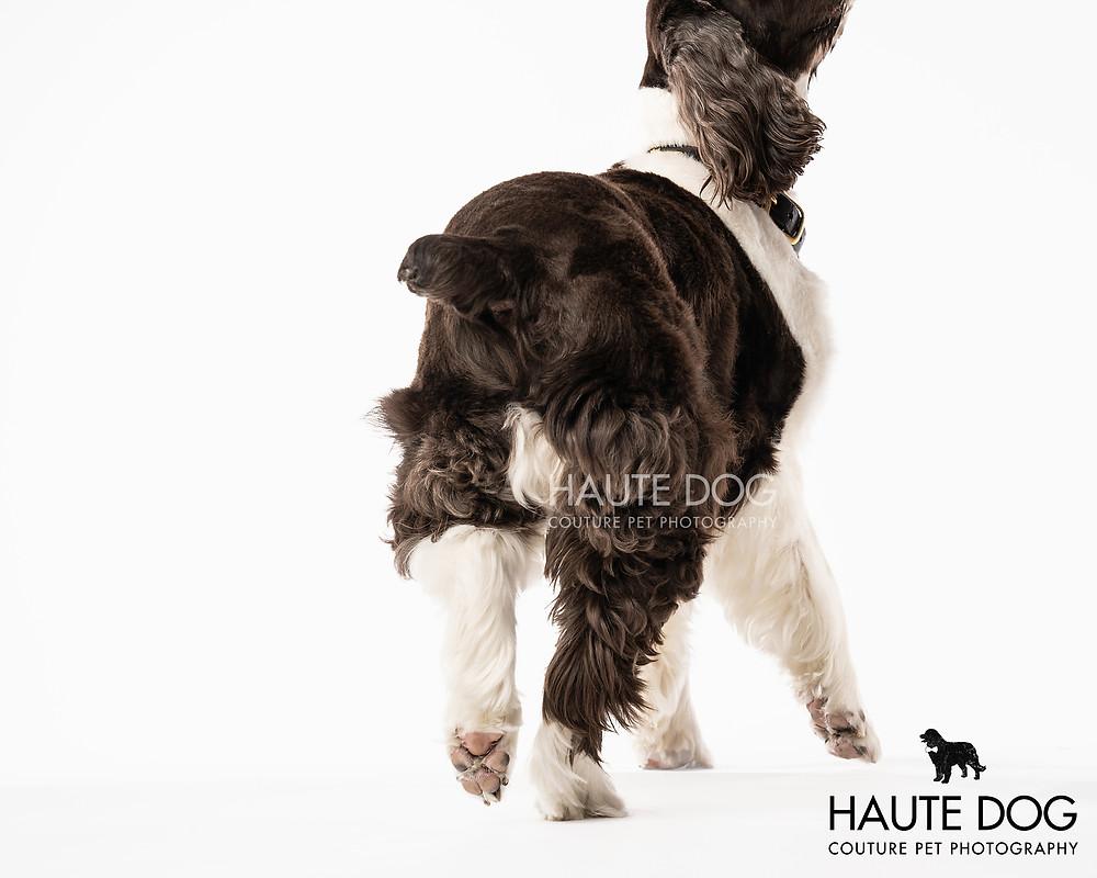 Dallas dog photographer Springer Spaniel tail nub