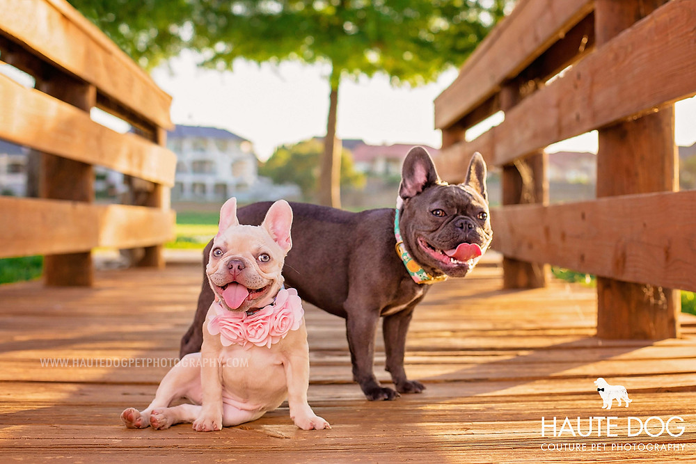 Dallas pet photographer French Bulldog wearing pink flowers