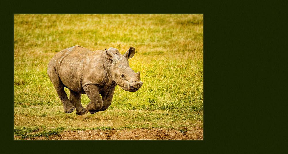 baby rhinoceros running