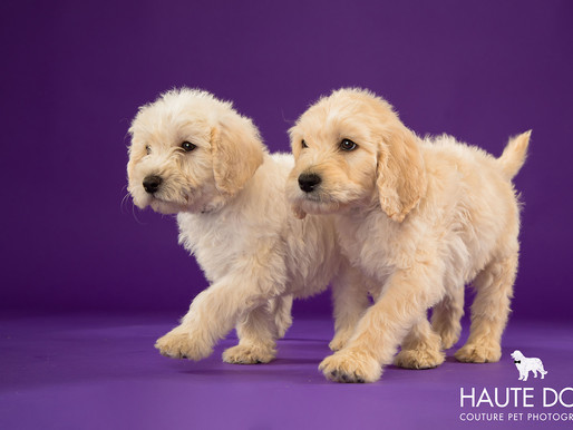 Dallas Doodle Puppies for Adoption