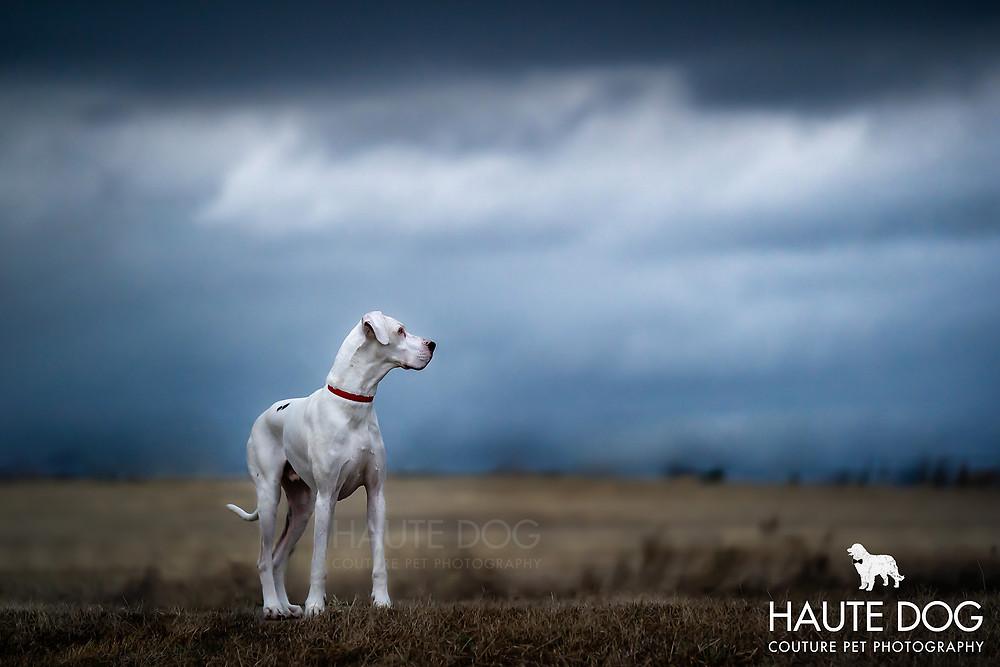 Dallas pet photographer Great Dane thunderstorm clouds