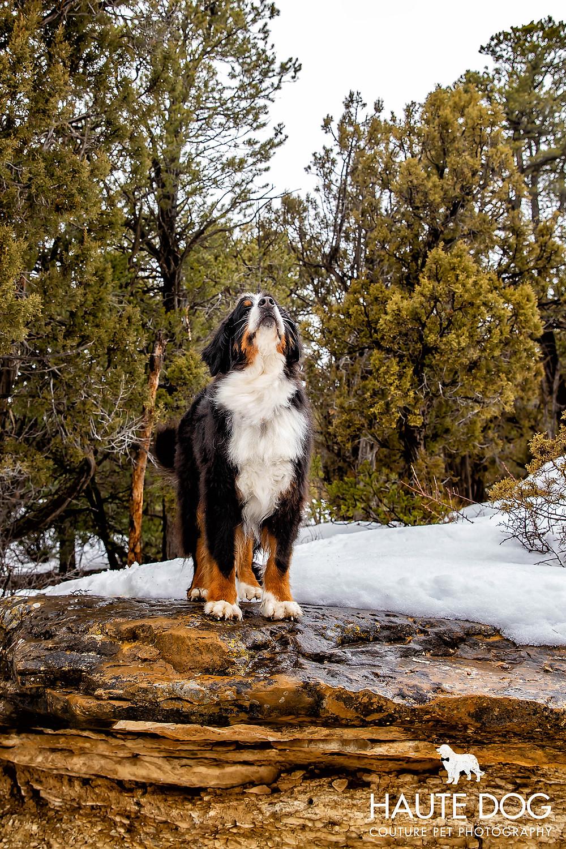 Dallas pet photographer Bernese Mountain Dog in snow