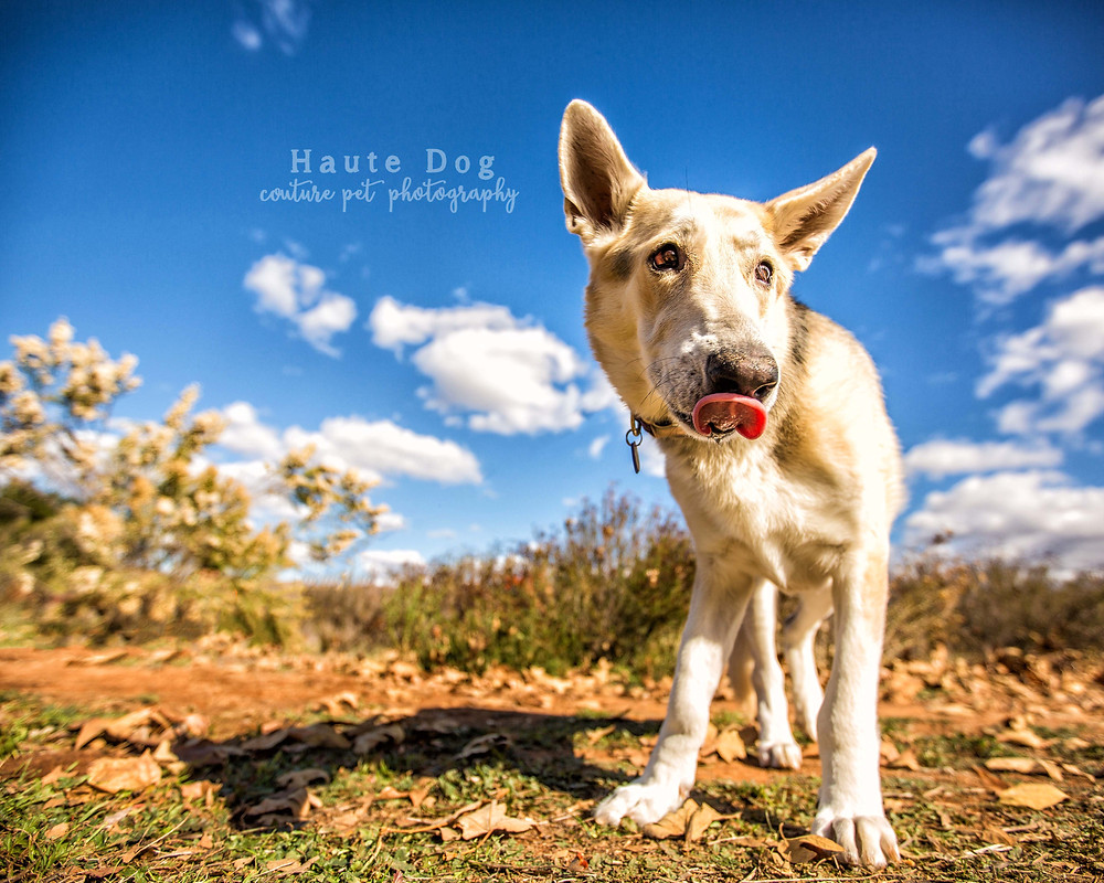 German Shepherd at Mission Trails Park - San Diego pet photographer