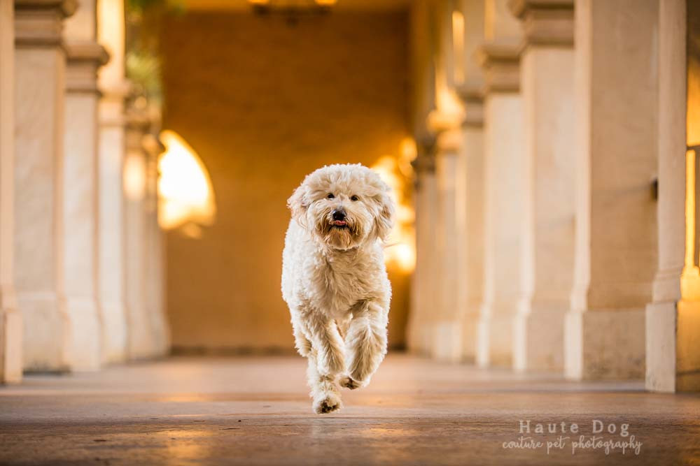 Goldendoodle at Balboa Park | pet photographer