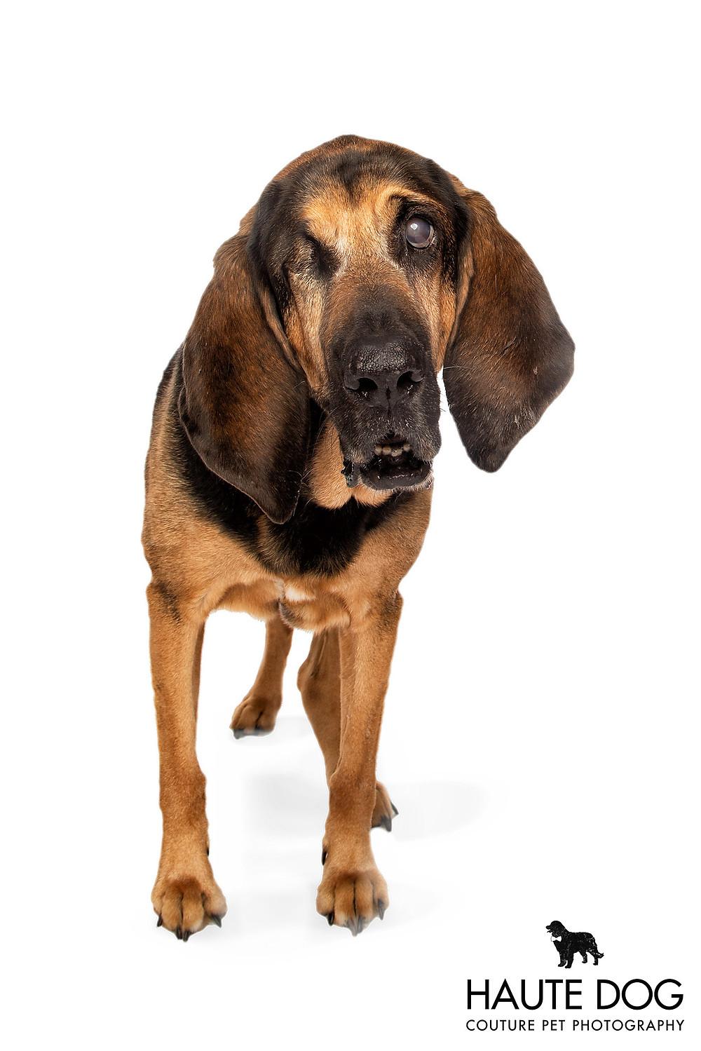 Bloodhound face working dog on white background