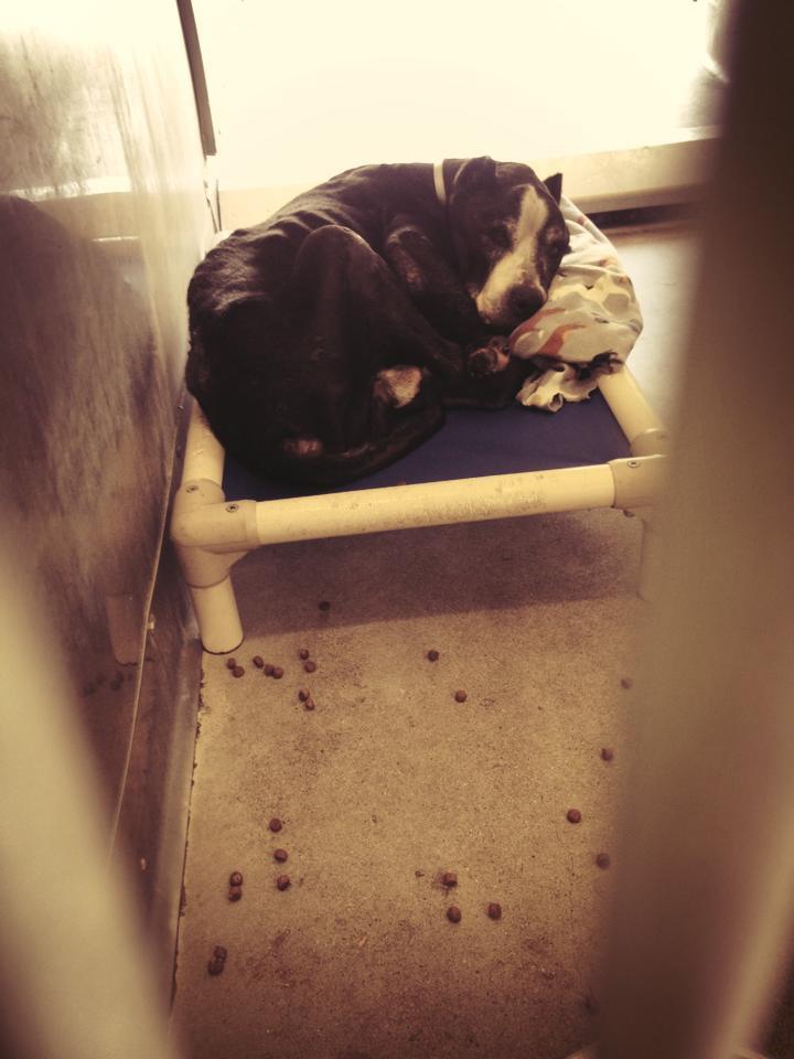 Otis Boxer Pittie at Baldwin Animal Shelter