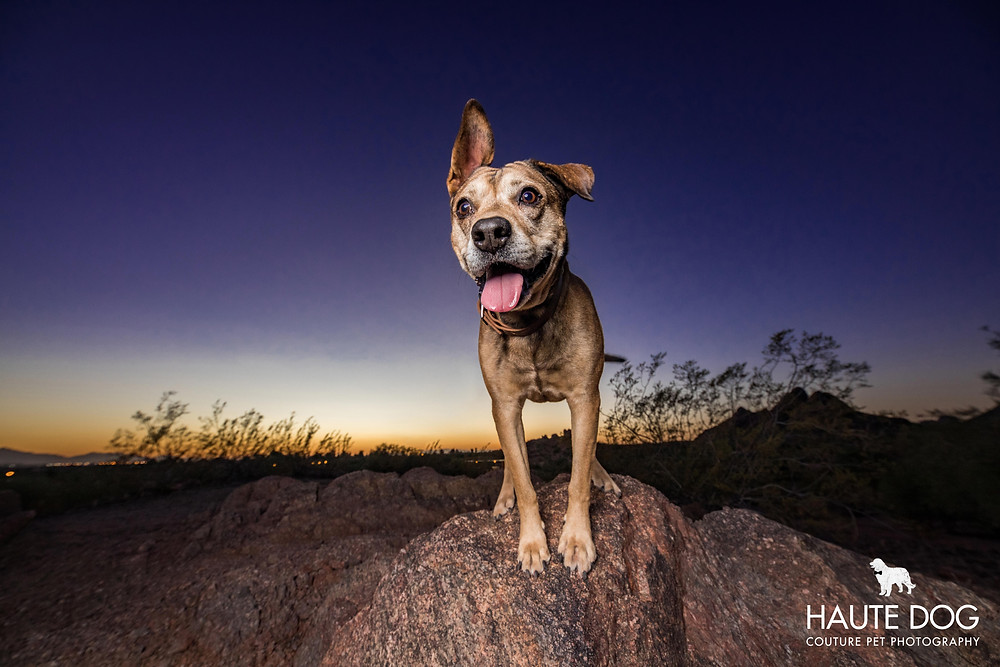 Pit bull perches on rock at sunset for pet photography session