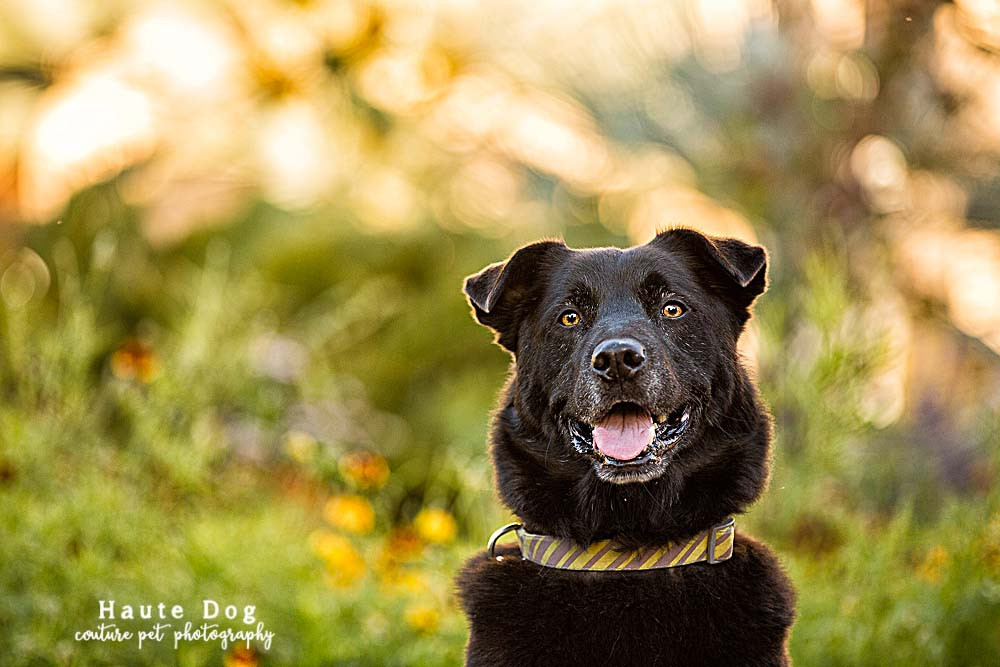 Black Lab at Balboa Park | pet photographer