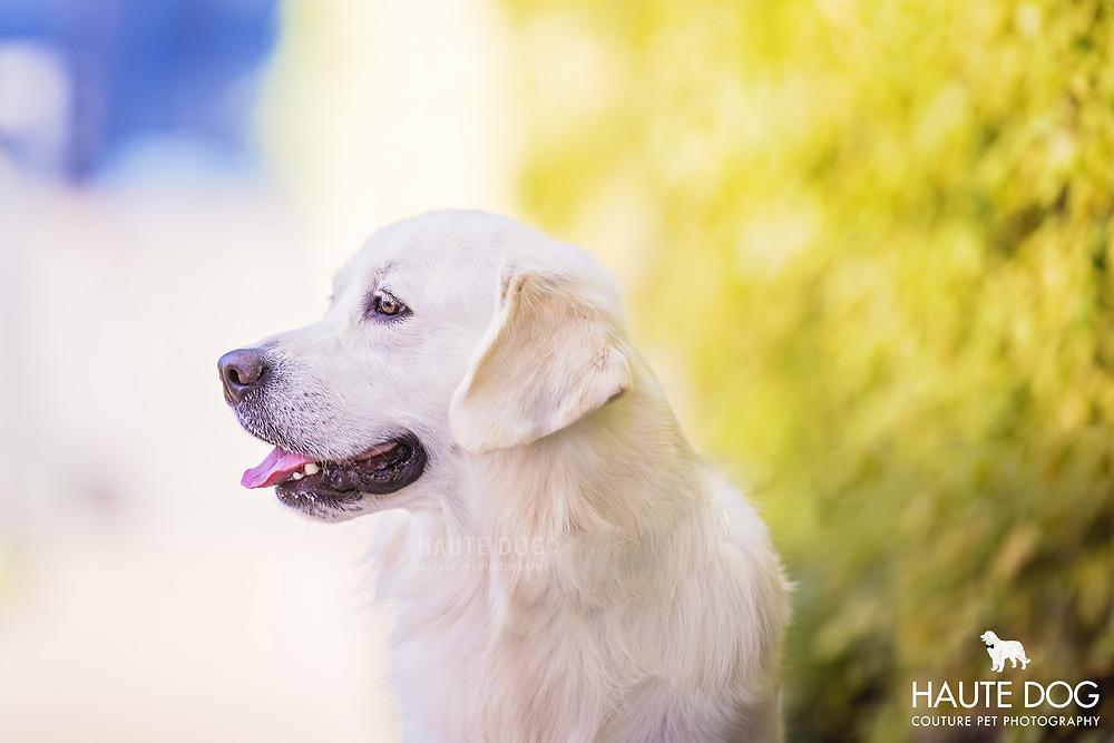 Dallas pet photographer English Cream Retriever
