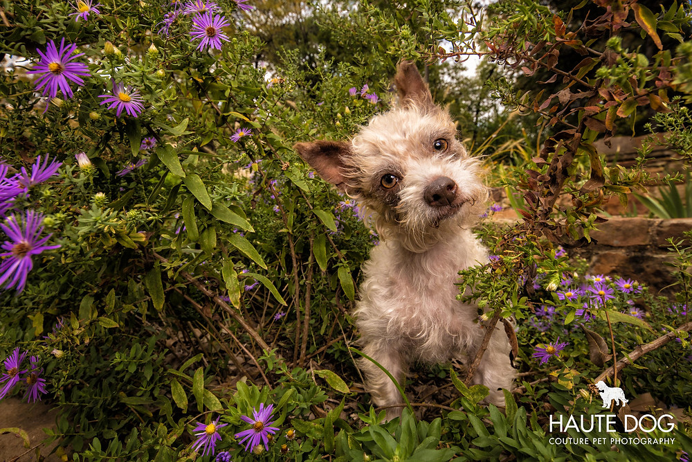 Yorkipoo doodle in purple flowers | Dallas pet photographer
