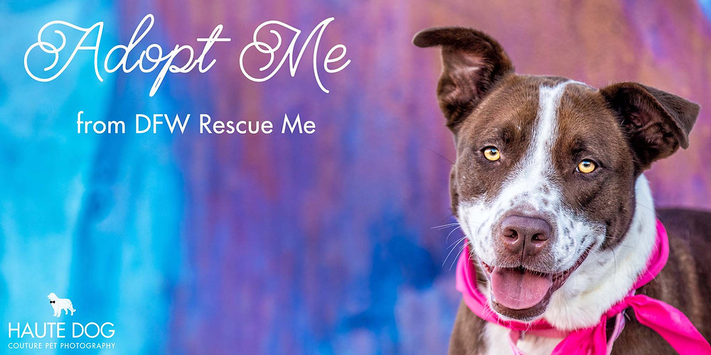 Adoptable Pit Bull Dog in Dallas © Haute Dog: Couture Pet Photography