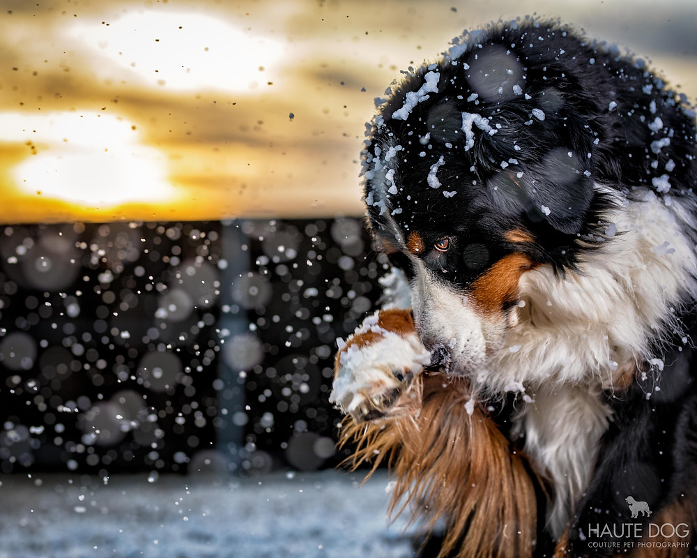 Bernese Mountain Dog plays in snow in Dallas