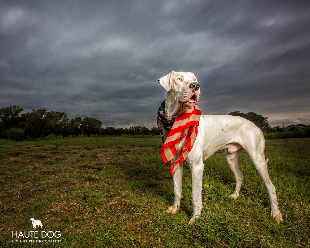 white Great Dane with American flag scarf in a storm | Dallas dog photographer