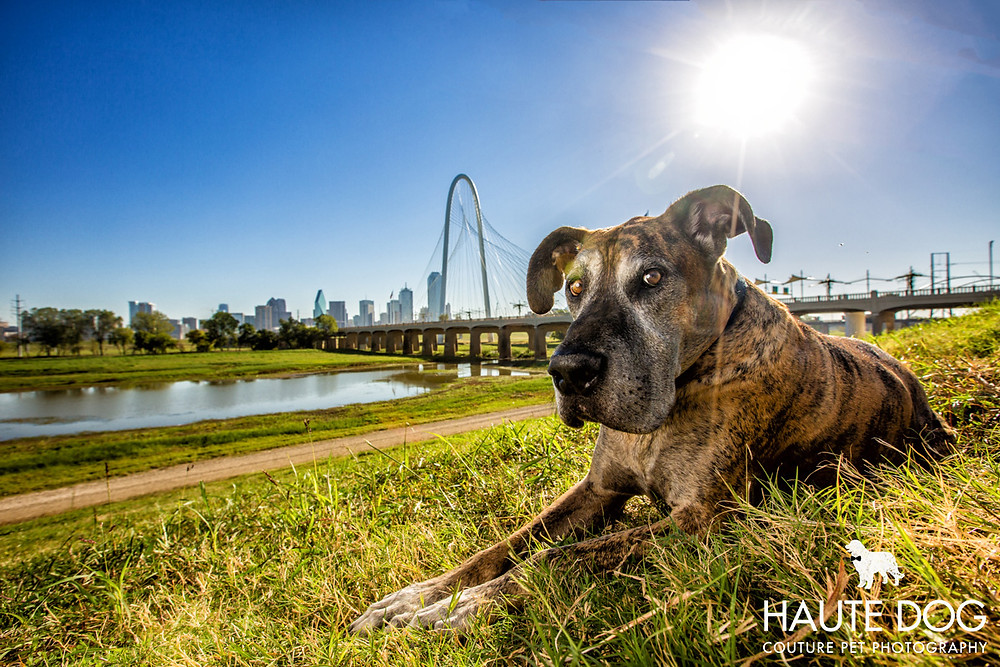 Dallas pet photography Great Dane at Trinity Groves