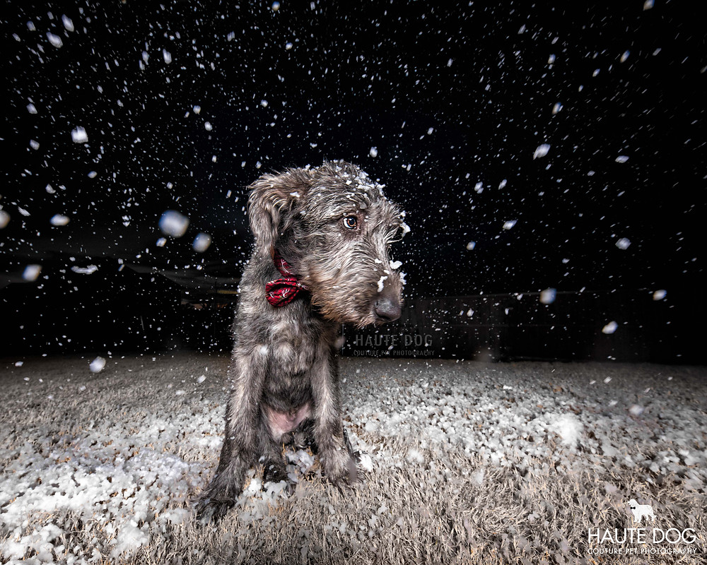 Irish Wolfhound puppy plays in snow in Dallas