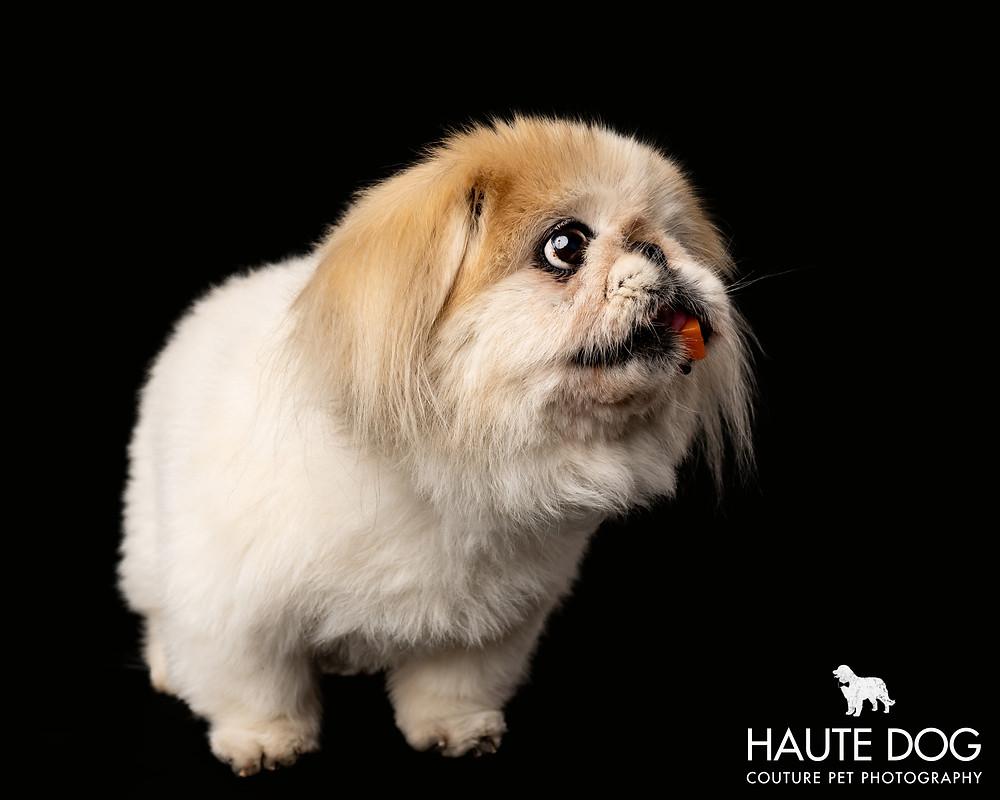 Dallas dog photographer studio Pekingese eating sweet potato