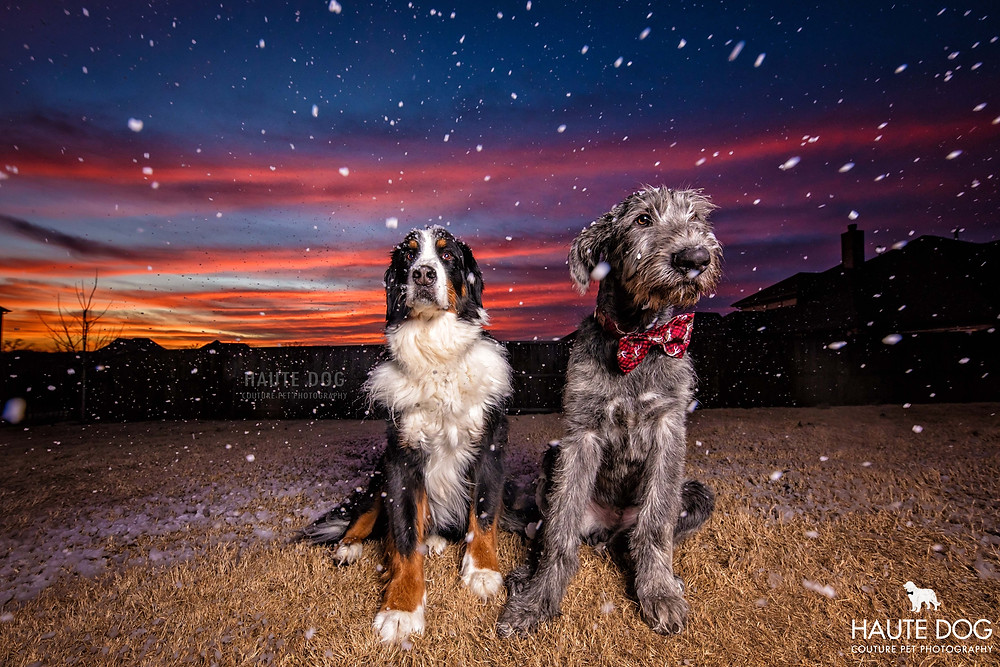 Irish Wolfhound and Bernese Mountain Dog with snowy sunset in Dallas