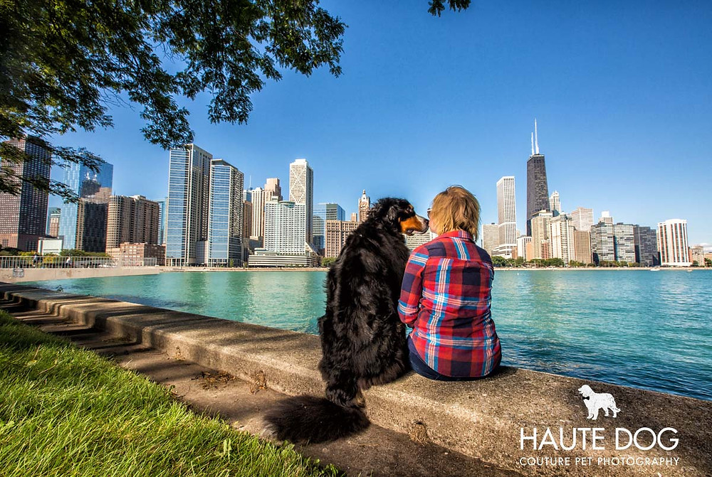 Bernese Mountain Dog in Chicago | Pet photography beyond Dallas