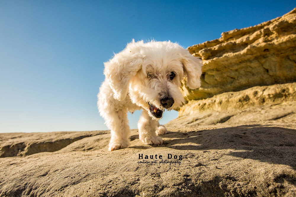 Maltese Poodle San Diego Del Mar Dog Beach