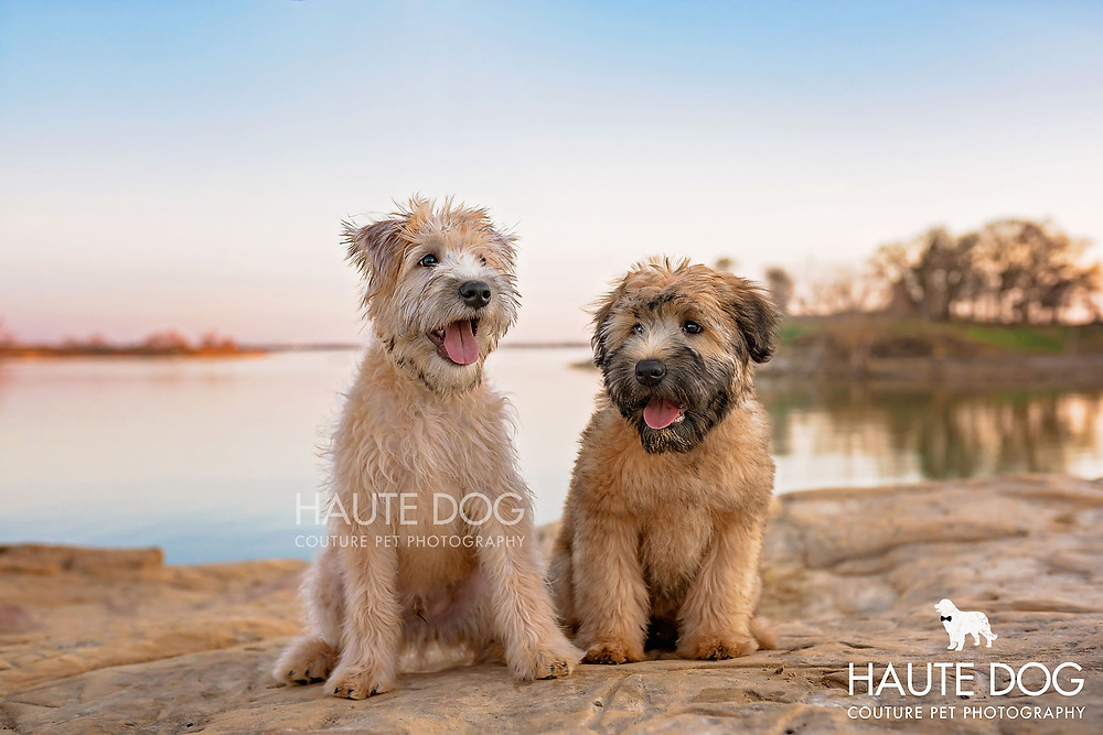 Dallas Wheaten Terrier puppies photographed at sunset