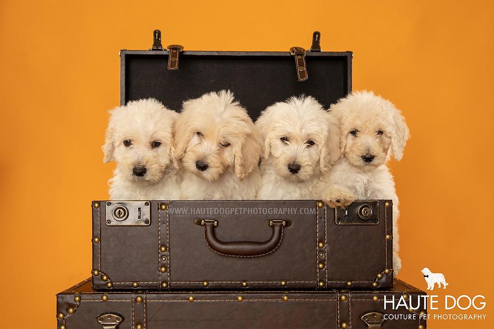 Dallas pet photographer doodle puppies in suitcases