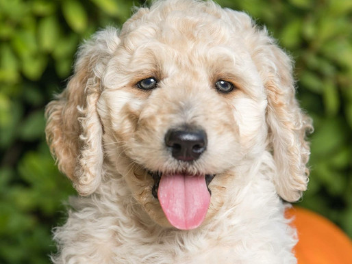Dallas Doodles Available for Adoption!